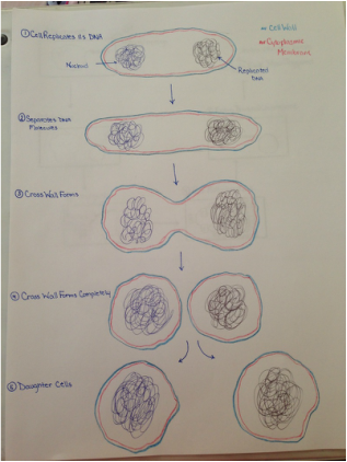Advantages of binary fission asexual reproduction